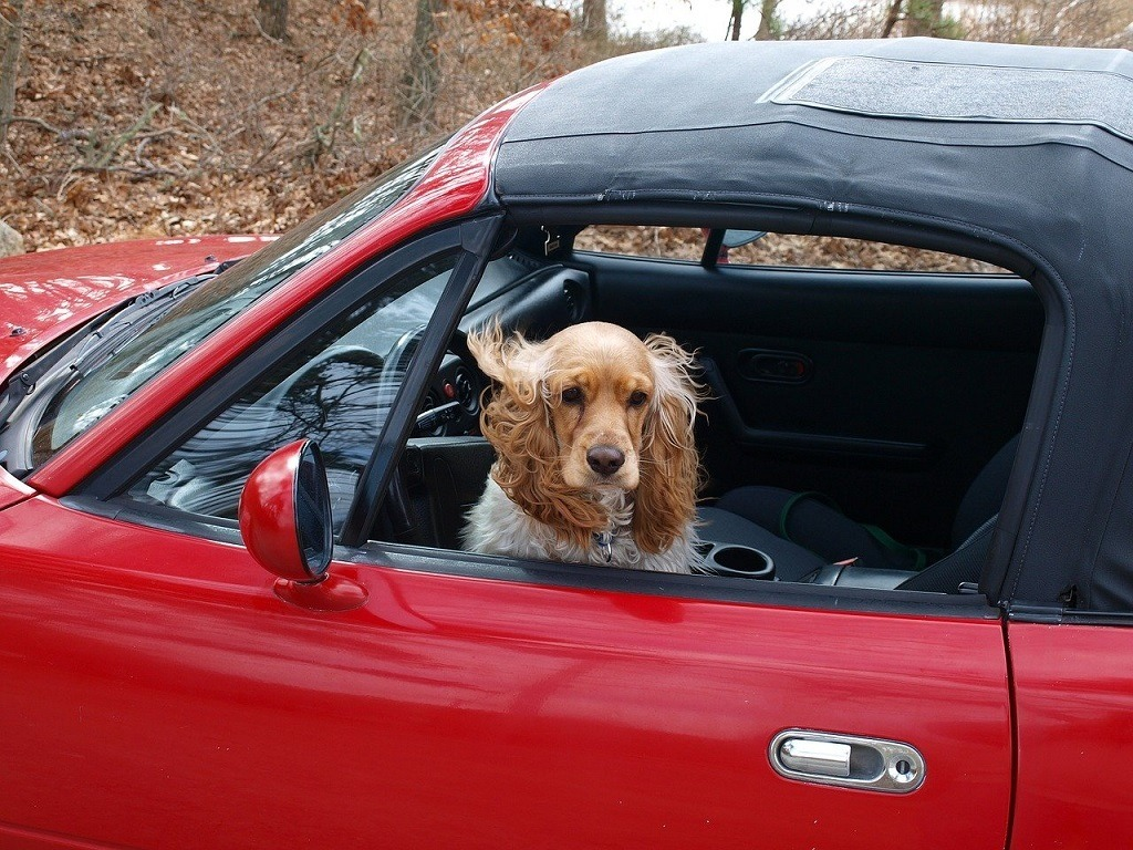 Cocker spaniel sitting in red convertible