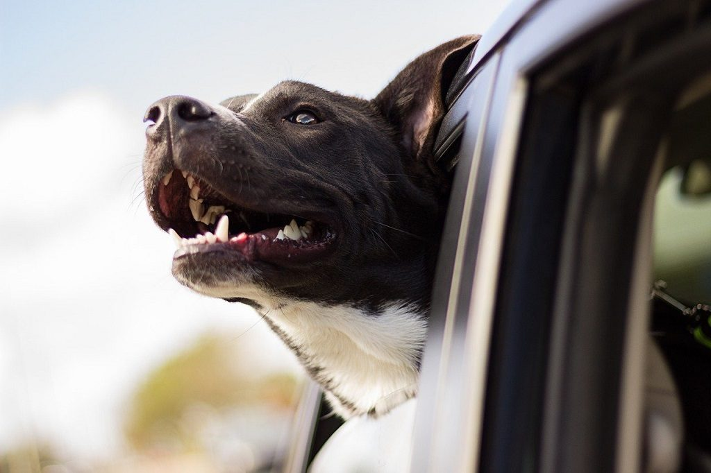 happy dog with his head hanging out of the car window