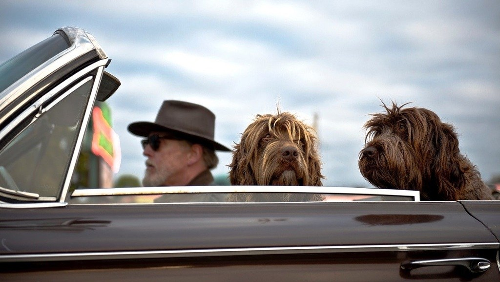 man driving a convertible with large fluffy dogs in the back